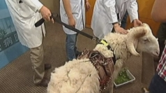 Sheep gets metal heart made with rocket science in China