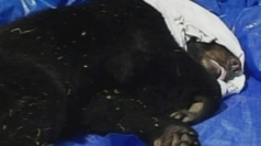 Giant black bear rescued from tree in Florida