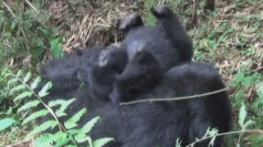 Baby gorillas captured on camera in Rwanda