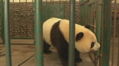 Spanish pandas return to China