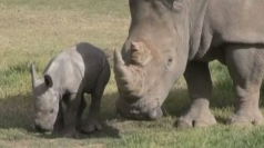 Surprise baby rhino born in Australian zoo