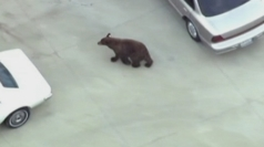 Black bear wanders suburban Los Angeles neighbourhood
