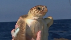 Rescued turtle returned to sea off Florida Keys