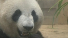 Giant panda in Japan shows signs of pregnancy