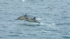 Dolphins flee pack of hungry killer whales