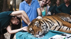 Tiger given acupuncture at safari park