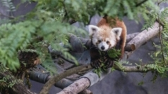 Missing red panda found in Washington neighbourhood