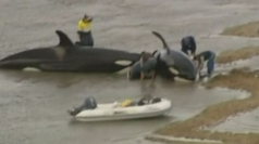 Killer whales beached off Australian coast