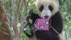 Panda eats giant cake to celebrate birthday