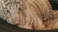 Rare white tiger shown off at Peru zoo
