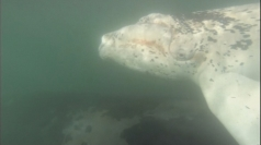 Rare albino baby whale with mum filmed by surfers