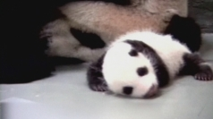 Baby panda at Taipei zoo about to open eyes for first time