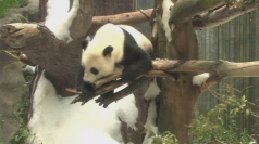 Pandas get a summer snow day