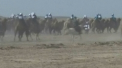 Over a thousand camels take part in record-breaking race