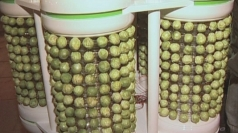 World's first Brussels Sprout powered Christmas tree