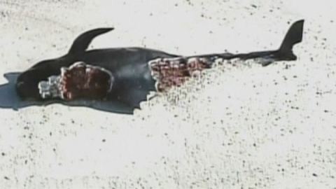Stranded whales: Dozens of pilot whales beached in Florida