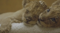 Four cute lion cubs born in Washington National Zoo