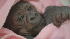 Newborn gorilla in ICU after two emergency operations