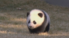 Cute baby panda makes outdoor debut in US zoo